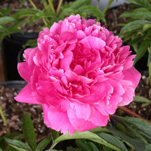 Load image into Gallery viewer, Peony 'Kansas'