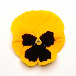 Pansy Matrix® Yellow Blotch