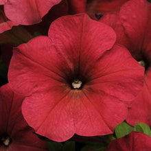 Load image into Gallery viewer, Petunia Easy Wave® Berry Velour