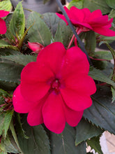 Load image into Gallery viewer, New Guinea Impatiens Basket