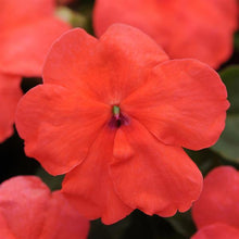 Load image into Gallery viewer, Impatiens Super Elfin® XP Salmon