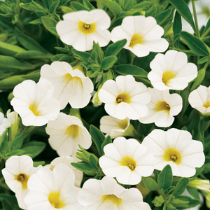 Calibrachoa White