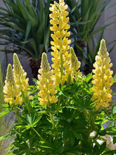 Load image into Gallery viewer, Lupinus x Mini-Gallery Yellow
