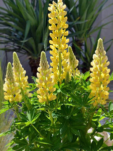 Lupinus x Mini-Gallery Yellow