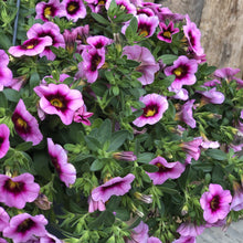 Load image into Gallery viewer, Calibrachoa Hula Basket