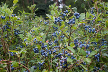 Load image into Gallery viewer, Northland Blueberry
