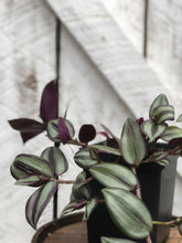 Load image into Gallery viewer, Tradescantia Purple