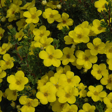 Load image into Gallery viewer, Potentilla Gold Drop