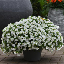 Load image into Gallery viewer, Calibrachoa Kabloom™ White Improved