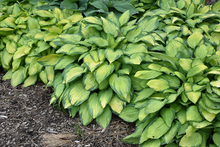 Load image into Gallery viewer, Hosta 'Paul's Glory'