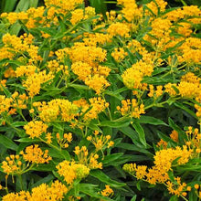 Load image into Gallery viewer, Asclepias tuberosa 'Hello Yellow'