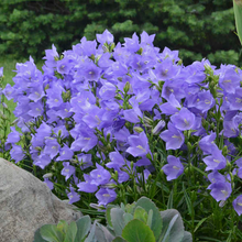 Load image into Gallery viewer, Campanula persicifolia 'Takion Blue'