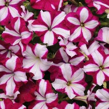 Load image into Gallery viewer, Petunia Easy Wave® Burgundy Star