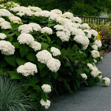 Load image into Gallery viewer, Annabelle Hydrangea