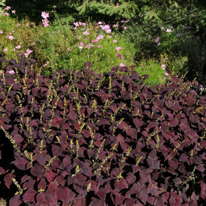 Coleus Dark Chocolate
