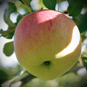 Wolf River Apple