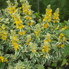 Load image into Gallery viewer, Lysimachia punctata 'Alexander'