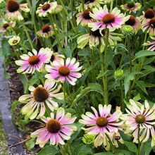 Load image into Gallery viewer, Echinacea purpurea 'Green Twister'