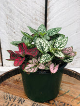 Load image into Gallery viewer, Polka Dot Plant 'Hypoestes' Mix