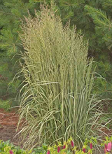 Load image into Gallery viewer, Calamagrostis x acutiflora 'Avalanche'