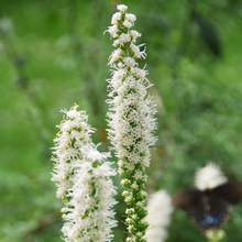 Load image into Gallery viewer, Liatris spicata 'Floristan White'