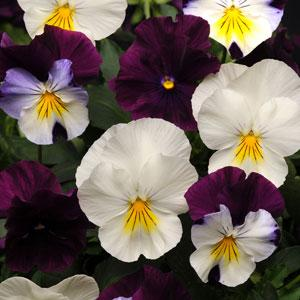 Pansy Cool Wave® Berries 'N Cream Mix