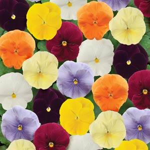 Pansy Matrix® Clear Mix