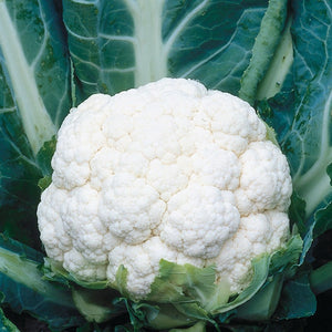 Cauliflower Steady