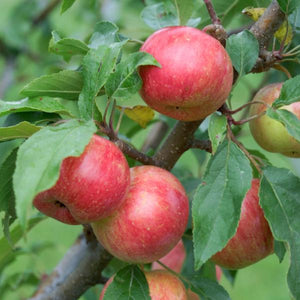 Chestnut Crab Apple