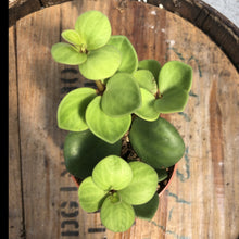 Load image into Gallery viewer, Peperomia 'Hope'