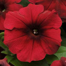 Load image into Gallery viewer, Petunia Easy Wave® Red Velour