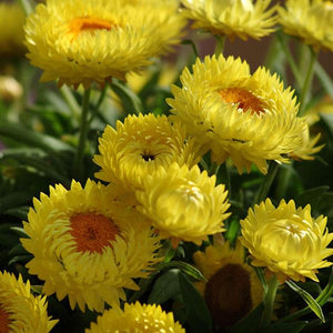 Strawflower Dreamtime Jumbo Yellow
