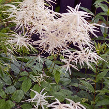 Load image into Gallery viewer, Aruncus dioicus 'Kneiffi'