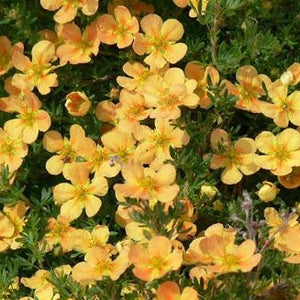 Potentilla Orange Whisper