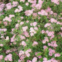 Load image into Gallery viewer, Spirea Little Princess