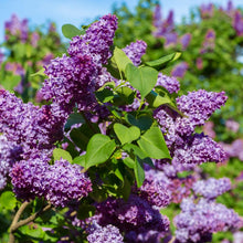 Load image into Gallery viewer, Lilac Common Purple