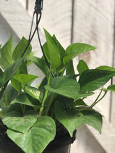Load image into Gallery viewer, Jade Pothos Hanging Baskets