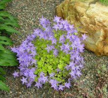 Load image into Gallery viewer, Campanula garganica 'Dickson's Gold'