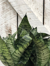 Load image into Gallery viewer, Sansevieria Starpower - Small