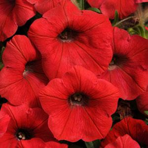 Petunia Shock Wave® Red