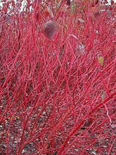 Load image into Gallery viewer, Red Osier Dogwood