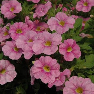Calibrachoa Soft Pink