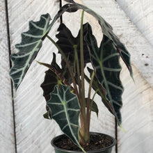 Load image into Gallery viewer, Alocasia Amazonica