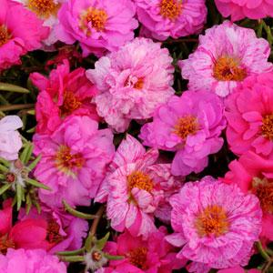 Portulaca Happy Hour™ Pink Passion Mix