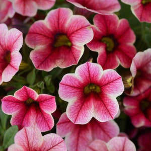 Calibrachoa Crave Strawberry Star