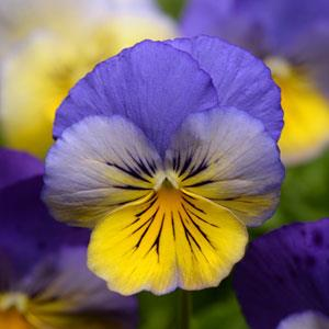 Pansy Cool Wave® Morpho