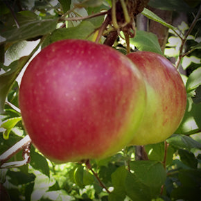 September Ruby Apple
