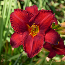 Load image into Gallery viewer, Hemerocallis 'Chicago Apache'