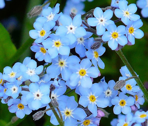 Myosotis sylvatica 'Forget-me-not'