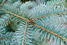 Load image into Gallery viewer, Blue Spruce